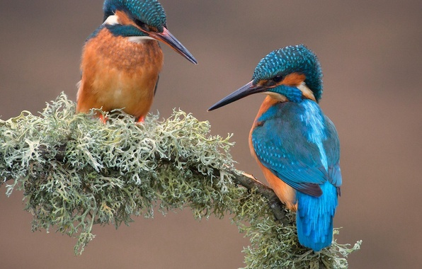 Картинка птицы, природа, мох, ветка, зимородок