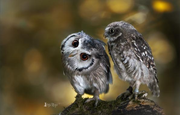 Картинка птицы, сова, две, ветка, совы