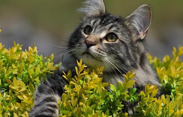 Картинка кошка, взгляд, мордочка, лапка, Норвежская лесная кошка