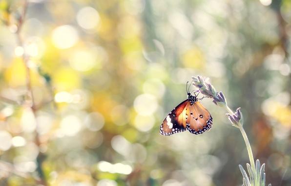 Картинка цветок, лето, макро, природа, бабочка, насекомое, лаванда, боке