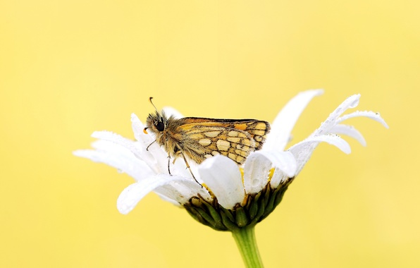 Картинка цветок, роса, фон, бабочка, ромашка, белая