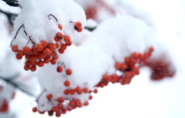 Картинка зима, снег, ягоды