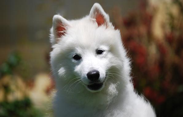 Картинка белый, взгляд, природа, фон, портрет, собака, милый, щенок, мордашка, хорошенький, размытый