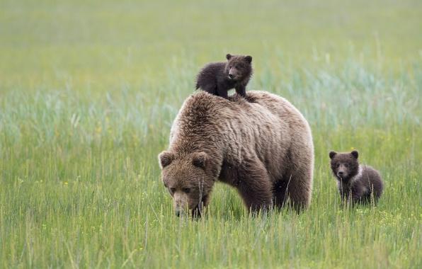 Картинка медведи, Аляска, луг, Alaska, медвежата, медведица, материнство, Lake Clark National Park