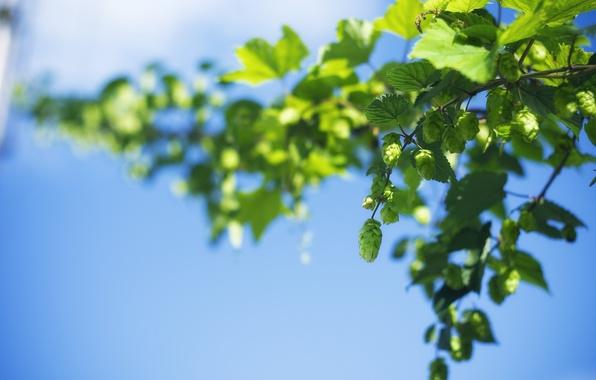 Картинка небо, листья, макро, зеленый, фон, widescreen, обои, листик, wallpaper, листочки, шишки, широкоформатные, background, полноэкранные, HD …
