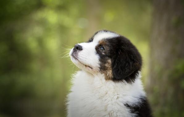 Картинка портрет, собака, мордочка, щенок, боке