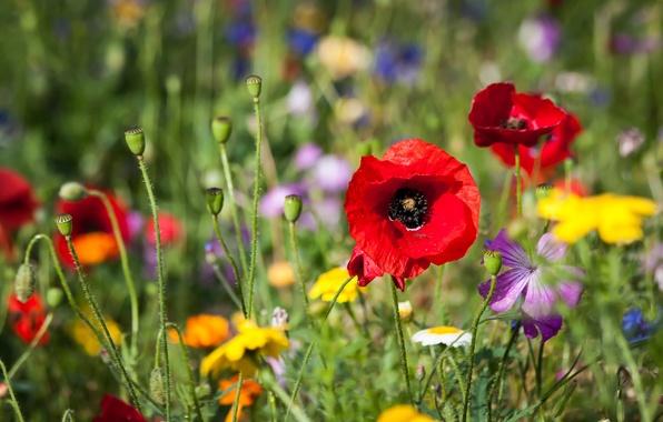 Картинка поле, трава, цветы, маки, лепестки, луг