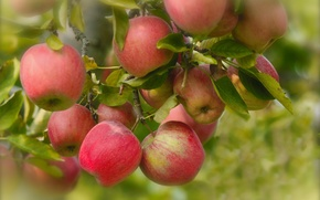 Картинка плоды, ветки, яблоки, листья