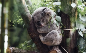 Картинка bear, Australian, native, mammal, can, much, How, cuddly, a, Koala