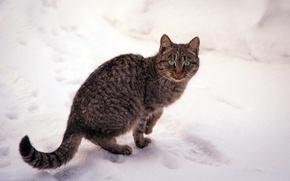 Картинка кошка, снег, природа, зима, полосатая, зеленые, глаза, кот