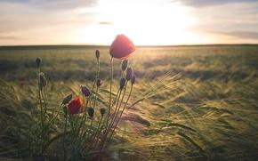 Картинка маки, утро, поле