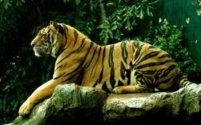 Обои киски, дикие кошки, тигры, pussy, wild cats
