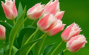 Картинка тюльпаны, Розовые, пестрые