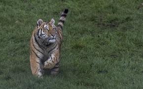Картинка трава, взгляд, тигр, хвост, бежит