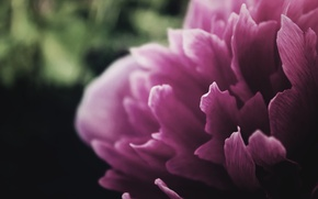 Картинка цветок, лепестки, пион