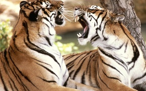Картинка чувства, тигры, разговор, спор
