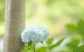 Обои зелень, цветок, листья, цвета, макро, свет, природа, дерево, голубой, нежность, ствол, мягкость, гортензия