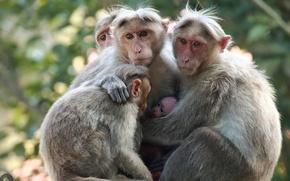 Картинка природа, семья, обезьяны