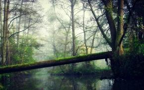Картинка лес, деревья, туман, озеро, отражение, ветка