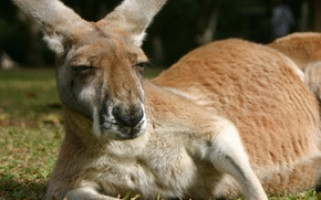 Картинка животные, пушистый, кенгуру, укладка