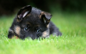 Картинка puppy, pet, German Shepherd