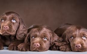 Картинка щенки, трио, шоколадный, спаниель