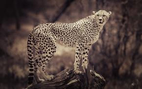 Картинка животные, фон, размытие, сепия, гепард, коряга, дикая кошка, animals, background, blurred, cheetah, sepia, wild cat, …