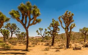 Картинка песок, пустыня, дюны, США, Joshua Tree, кустарник, Joshua Tree National Park, Дерево Джошуа