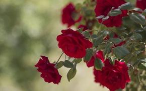 Картинка листья, розы, бутоны, розовый куст