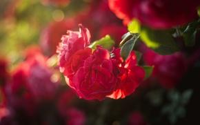 Картинка лето, солнце, лучи, цветы, нежность, куст, жара, розы
