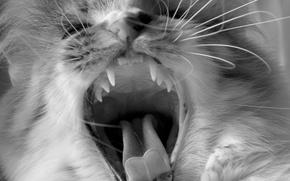 Картинка усы, клыки, зубы, черно-белая, кот, язык