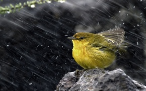 Обои снег, птица, камень, Yellow warbler, Желтая древесница