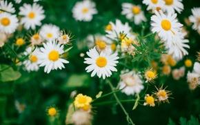 Картинка цветы, ромашки, полевые цветы
