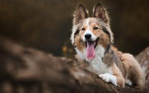 Картинка осень, язык, дерево, портрет, собака, щенок, лежит, бревно, колли, шелти