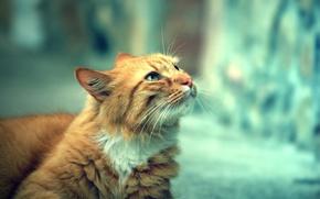 Картинка кошка, взгляд, улица, день, смотрит, cat