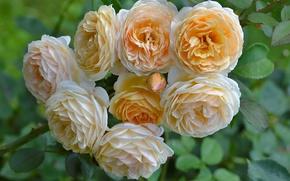 Картинка розы, бутоны, жёлтые розы