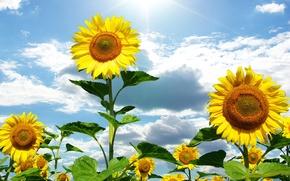 Картинка лето, небо, солнце, облака, подсолнухи, цветы, природа