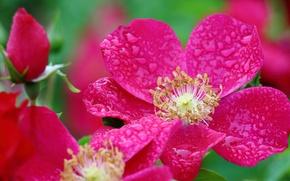 Обои роза, макро, бутон, лепестки, капли