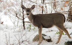 Картинка зима, животные, природа, олень
