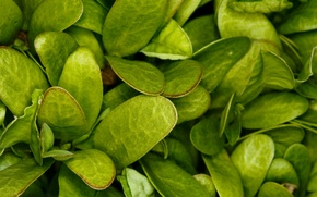 Обои зелень, трава, макро, лист