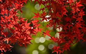Картинка осень, листья, ветки, клен