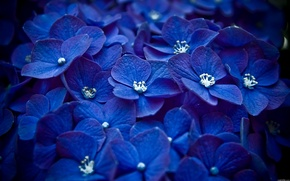 Картинка Цветы, лепестки, много, синий, макро