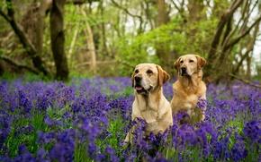 Картинка лес, собаки, деревья, цветы, две, колокольчики, Лабрадоры