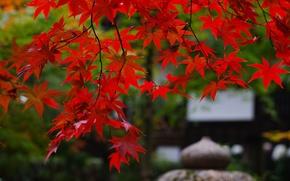 Картинка ветки, природа, листва, япония, сад, клён, красная