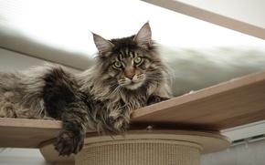 Обои кошка, кот, фон, widescreen, обои, wallpaper, широкоформатные, cat, background, полноэкранные, HD wallpapers, широкоэкранные, fullscreen, Maine ...