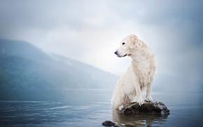 Картинка вода, туман, озеро, камень, собака, Голден ретривер, Золотистый ретривер