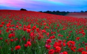 Картинка поле, небо, цветы, холмы, маки, луг