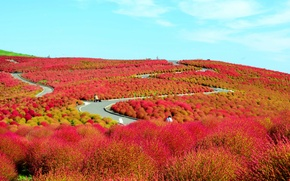 Обои поле, цветы, холмы, Япония, кусты, Национальный приморский парк Хитачи, Хитатинака, префектура Ибараки