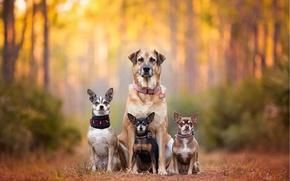 Картинка собаки, семья, bokeh, пинчер, Чихуахуа, chihuahua, dog family, dog breath, Kaylee Greer, cute dogs