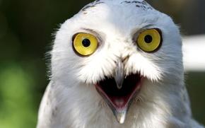 Картинка взгляд, сова, белая